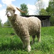 Le mohair, cette laine qui vous veut du bien