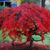 Ces arbres ornementaux qui impressionnent dans le jardin !